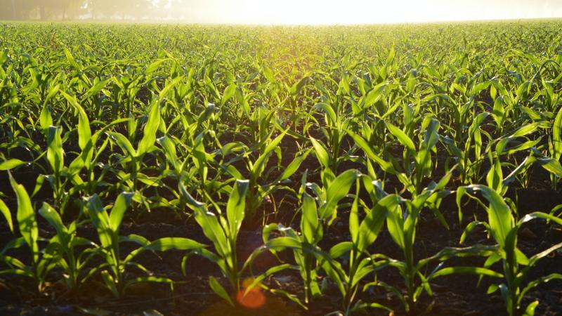 Sunset on a field of growing corn